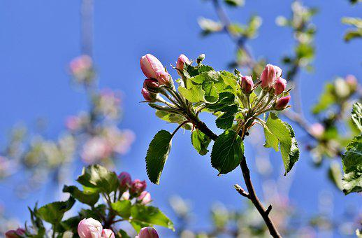 Apple Blossom, Flowers, Apple Tree