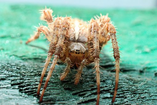 Spider, Almost, Macro, Arachnid, Feet, Eye, Hairy