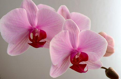Orchid, Phalaenopsis, Flower, Beauty, Fine, Pink