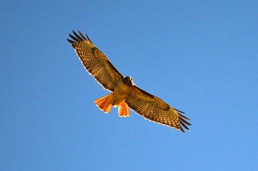 Hawk, Bird, Flying, Raptor, Hunter