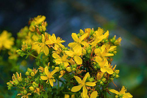 St John'S Wort, Flowers, Yellow, Bloom