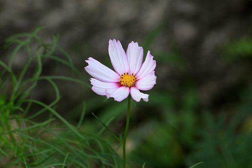 Cosmos, White Flowers, Blossom, Garden, In Autumn