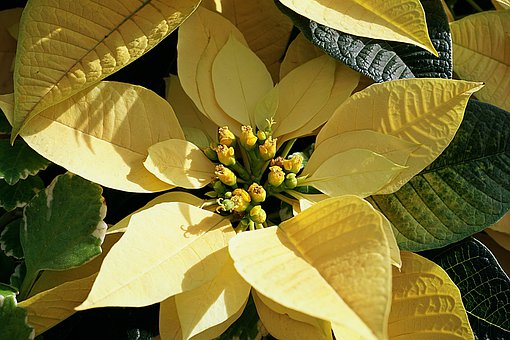 Poinsettia, Yellow, Flower, Leaves, Buds, Colorful