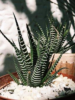 Succulent, Cactus, Zebra, Fat Plant