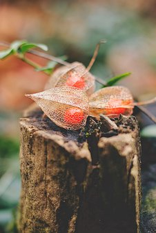 Physalis, Cape Gooseberry, Winter, Nature, Fruit, Food