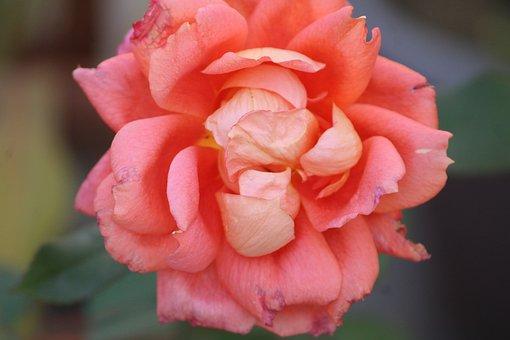 Pink, Rose, Centifolia Roses, Petals
