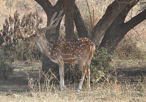 Spotted Deer, Chital, Male, Stag, Antler, Axis Axis