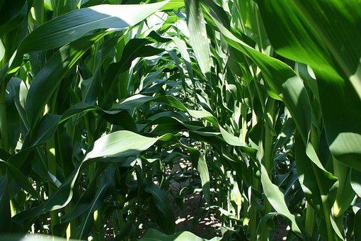 Corn, Corn Leaves, Tunnel, Cornfield, Leaves