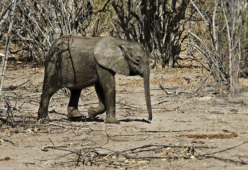 Elephant, Animal, Africa, Nature, Safari, Mammal