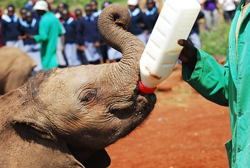 Elephants, Bottle Feeding, Nairobi