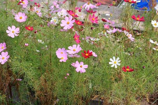 Cosmos, Autumn, Nature, Flowers, Plants, Sky, In Autumn