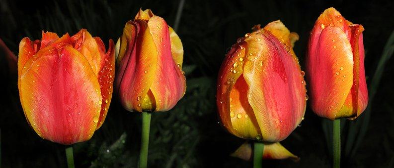 Tulips Dream, Orange Tulips, Flowers, Spring