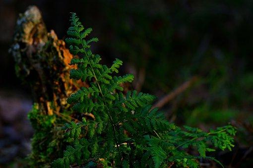 Forest, Sunset, Fern, Tree Stump