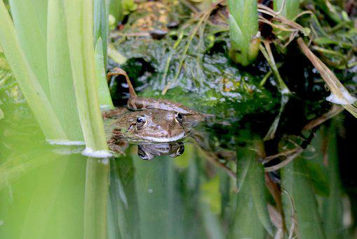 Toad, Frog, Pond, Water, Aquatic Animal, Nature, Green