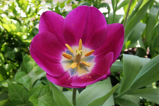 Tulip, Garden, Bloom, Purple, Pollen, Yellow Stamen