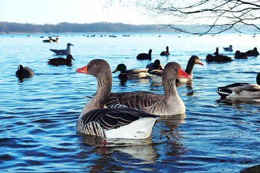 Goose Grey Goose, Water Birds, Para, Young Individuals