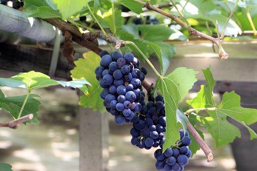 Grapes, Wood, Fruit, Chartreuse, Korea, Grape