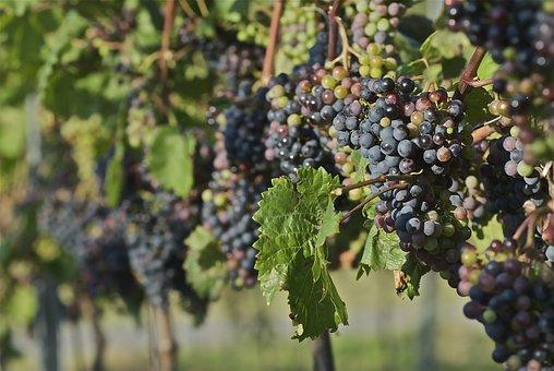 Red Wine, Vine, Wine, Grapes, Plant, Nature, Winemaker