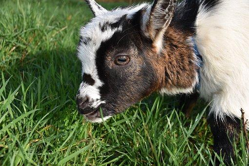 Goat, Kid, Ibex, Baby Goat, Ruminant