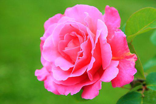 Rose, Spring, Pink, Nature, Flower