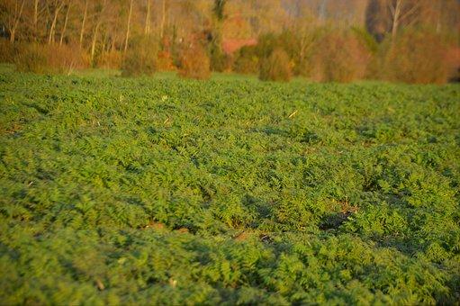 Field, Nature, Landscape, Agriculture, Green, Harvest