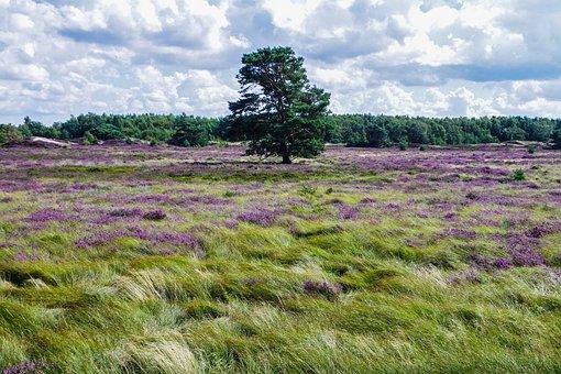 Heathland, Tree, Heather, Nature Reserve