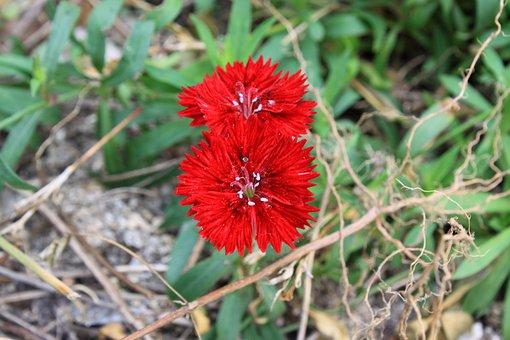 Red Flower, Wildflower, Nature, Flowers, Plants