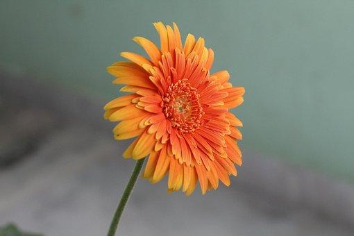 Flower, Lotus, Orange Colour Flower, Flora, Bloom