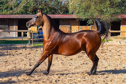 Pure-blood Arab, Horse, Dressage, Coach, Scott Allman