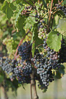 Red Wine Grapes, St Laurent, Wine, Red Wine, Grapes