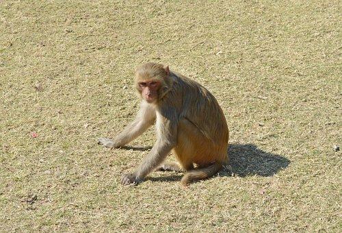 Monkey, Rhesus Macaque, Macaca Mulatta