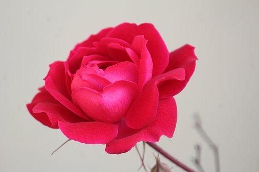Rose, Gulab, Flower, Rosa, Single, Nature, Blossom, Red