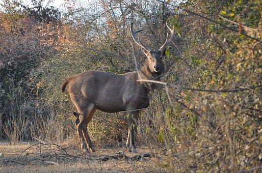 Sambar, Rusa Unicolor, Wildlife