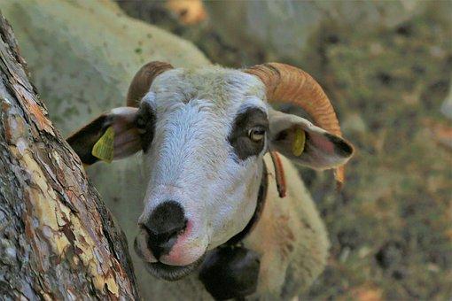 Sheep, Animal, Mammal, Rural, Cute