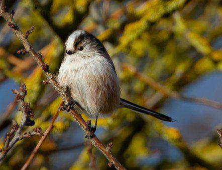 Long Tailed Tit, Pink Tit, Songbird