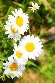 Flower, Spring, Daisy, Nature, Plant, Color, Beautiful