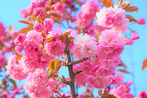 Flower, Spring, Nature, Plant, Color, Beautiful, Pink