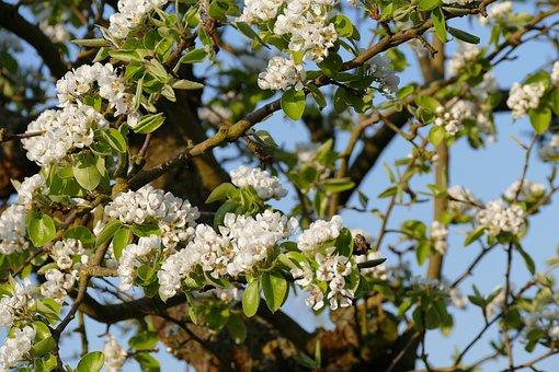 Blossom, Pears, Pear Tree, Spring, White, Tree, Flowers