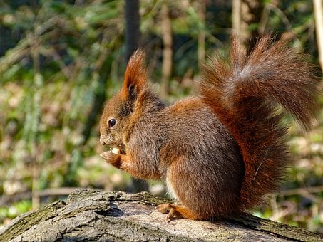 Squirrel, Rodent, Eat, Nut, Bushy, Tail, Ear Tufts