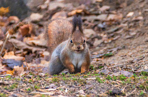 Squirrel, Mammal, Cute, The Rodent