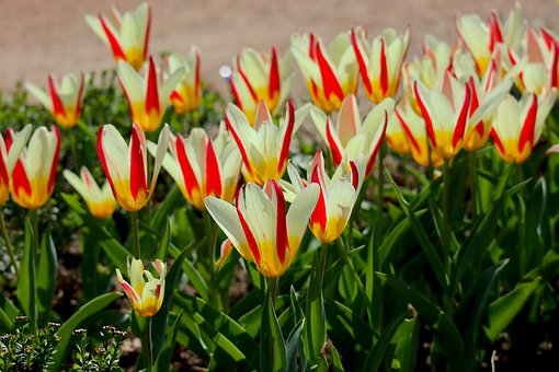 Tulips, Spring, Spring Flowers, Red, White, Yellow