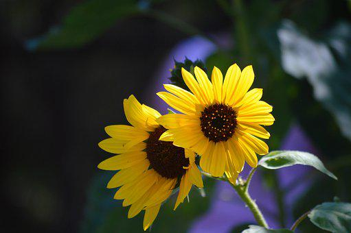 Sunflowers, Two, Yellow, Flowers, Nature