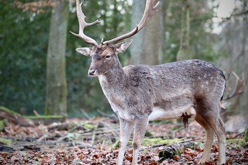 Fallow Deer, Hirsch, Antler, Wild