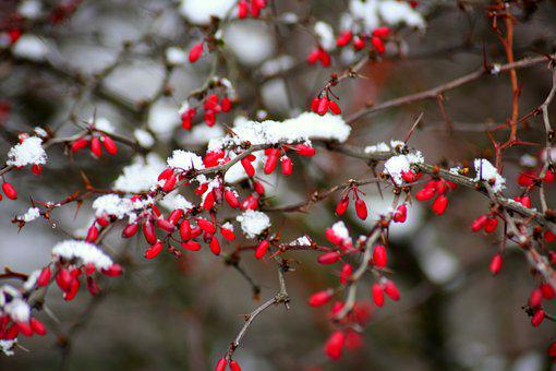 Barberry, Winter, Bush, Snow, Red Fruits, Nature