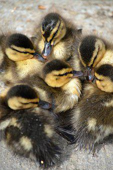 Ducklings, Cute, Fluffy, Small, Yellow, Waterfowl