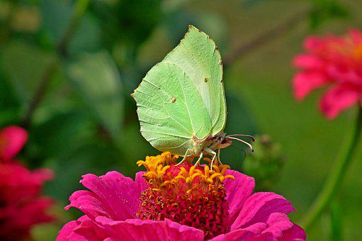 Butterfly, Insect, Sulphur Butterfly, Flower, Zinnia