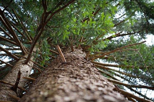 Tree, Conifer, Log, Aesthetic, Nature