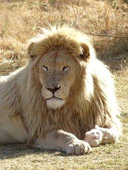 Lion, Wildlife, Africa, Safari, Animal World, Predator