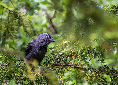 Jackdaw, Bird, Black, Plumage, Animals, Bill, Tree