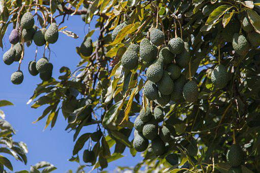 Valley, Rio De La Miel, Avocados, Tree, Andalusia